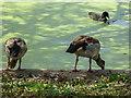 TQ2782 : Egyptian Goose, Regents Park, London by Christine Matthews