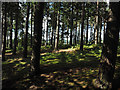 NY9256 : Coniferous trees above valley of Devil's Water by Trevor Littlewood