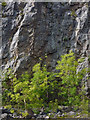SD4872 : Young ash trees, Warton Crag Quarry by Karl and Ali