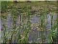 SK4670 : Lake with reeds and lilies by Andrew Hill