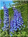 SE7169 : Dephiniums in Garden, Castle Howard, Yorkshire by Christine Matthews