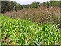 TM1679 : Crop fields north of Hall Farm by Evelyn Simak