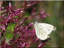 SX9050 : Butterfly, Coleton Fishacre by Derek Harper
