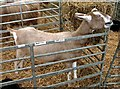 SJ7177 : Show goats 6 by Anthony O'Neil