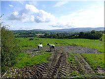 H4180 : Sheep, Gortinagin by Kenneth  Allen