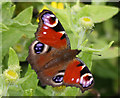 TA2372 : Peacock butterfly (Inachis io) by JThomas