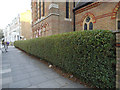 TQ2479 : Privet hedge outside St Matthew's church by Stephen Craven