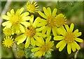 SP9210 : Ragwort (Jacobaea vulgaris) and tiny beetle by Rob Farrow