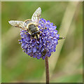 SE5181 : Insects feeding on Devil's bit scabious by Pauline E