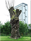 NS5964 : Old tree in Glasgow Green by Thomas Nugent