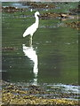 NR8262 : Little Egret at Kennacraig by sylvia duckworth