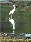 NR8262 : Little Egret at Kennacraig by sylvia duckworth