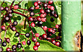 J3674 : Elderberries, Connswater, Belfast (August 2014) by Albert Bridge