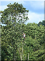 NY5342 : Tree surgeon at work, Staffield by Oliver Dixon