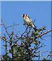 NZ8513 : Goldfinch in natural habitat by Pauline E