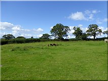 ST0905 : Grazing sheep near Bowerwood by David Smith