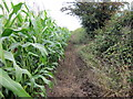SJ3660 : Maize at Dodleston by Jeff Buck