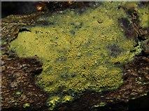 NS3878 : A fungus - Mycoacia uda by Lairich Rig