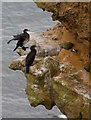 TA1182 : Pair of cormorants on the cliff face by Pauline E