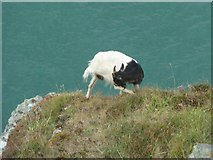 SS7049 : Balancing goat, Valley of Rocks by Rob Farrow