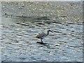 SE4107 : Little Egret on Edderthorpe Ings by Steve  Fareham