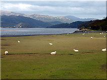 SH6214 : Saltmarsh sheep by John Lucas