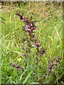 NS4886 : Red Bartsia by Lairich Rig