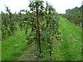 TQ9147 : Orchards near Egerton by Marathon
