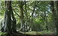NY5459 : Beech woodland at Talkin tarn country park. by steven ruffles
