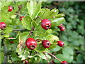 TF1032 : Crataegus monogyna by Bob Harvey