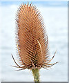 J4180 : Teasel, Cultra (September 2014) by Albert Bridge