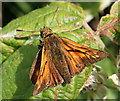 SZ0481 : Large Skipper ( Ochlodes venata) by Anne Burgess