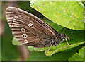 SY6970 : Ringlet (Aphantophus hyperantus) by Anne Burgess