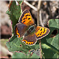 TG0644 : Small copper butterfly by Pauline E