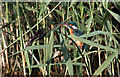 TF7543 : Female Kingfisher, Titchwell by Pauline E
