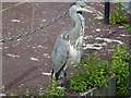TQ5773 : An angry looking Heron at Bluewater by Richard Humphrey