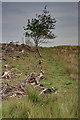 NY9483 : Edge of Cleared Plantation by Mick Garratt