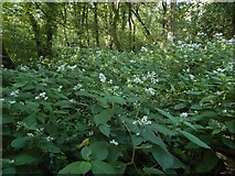 NS3878 : Himalayan Knotweed by Lairich Rig