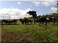 SW9764 : Cows in a field at Rostigan by Rob Purvis