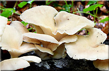 J4681 : Fungi, Crawfordsburn - September 2014(2) by Albert Bridge