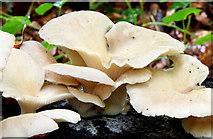 J4681 : Fungi, Crawfordsburn - September 2014(2) by Albert Bridge