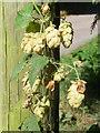 SO6869 : Hedgerow Hops, Little Lambswick Farm by Richard Greenwood
