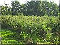 TL4675 : Apple orchard, Haddenham by Andrea
