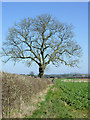 SO7497 : Footpath and oak tree north of Worfield, Shropshire by Roger  Kidd