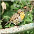 NT9349 : Robin by David Chatterton