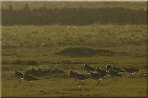 HP6308 : Curlews (Numenius arquata), Baltasound by Mike Pennington