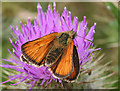 SY6788 : Skipper Butterfly by Anne Burgess