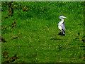 H4772 : Heron, Campsie, Omagh by Kenneth  Allen