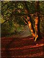 SU6474 : Evening light in Sulham Wood, Berkshire by Edmund Shaw