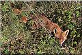 TA2570 : Fox keeping his eyes on me, Flamborough Head by Pauline E